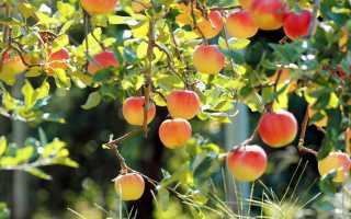 Неотложная помощь: как помочь плодовым деревьям в знойное лето