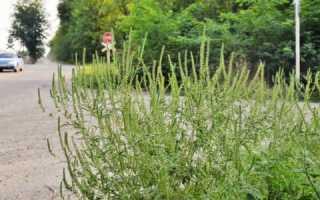 Амброзия – не просто сорняк