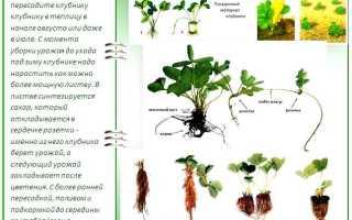 Выращивание рассады клубники: способы посадки семенами и розетками