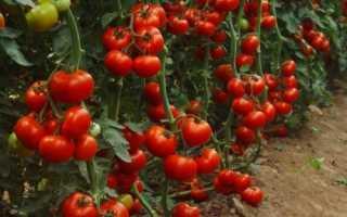 Болезни тепличных томатов: грибковые, бактериальные, вирусные, симптомы биопрепараты