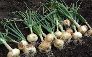 Выращивание лука через рассаду из семян за один год в домашних условиях+ видео