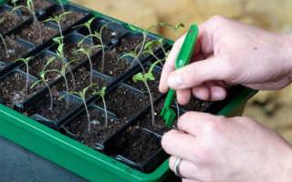Что такое пикировка рассады и как правильно пикировать помидоры, перцы и цветы + видео