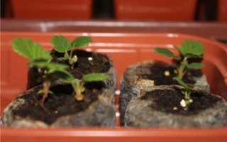Как вырастить клубнику из семян в домашних условиях рассадой + видео