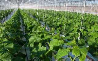 Сорта и гибриды огурцов для выращивания в теплице: факторы влияющие на выбор семян