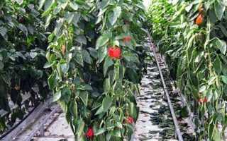 Выращивание перца в теплице: сорта, схема и сроки посадки, уход и совмещение с зеленью