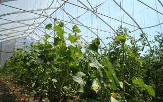 Огурцы в теплице: посадка рассады и высев семян, создание оптимальных условий