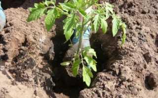Как повысить урожайность томатов