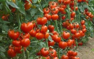 Скручиваются листья рассады помидор: диагностика и лечение