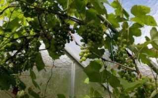 Выращивание Винограда В Теплице Из Поликарбоната: Крутая Инструкция По Технологии