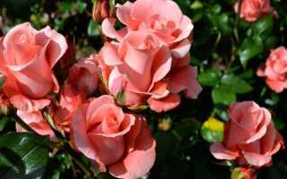 6 причин, которые приводят к пожелтению и опаданию листьев у садовой розы