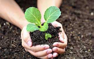 Рассада капусты: когда сеять и как правильно вырастить в домашних условиях