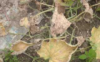 Почему желтеют листья у огурцов: обзор причин