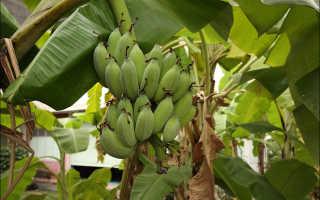 Выращивание Бананов И Ананасов В Теплицах: Детальная Инструкция