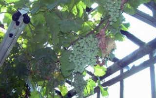 Виноград в теплице: секреты выращивания винограда в закрытом грунте