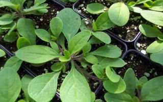 Как вырастить рассаду петунии из семян в домашних условиях + видео
