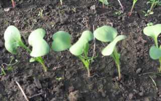 Как вырастить редис, шпинат и салат в теплице к началу апреля