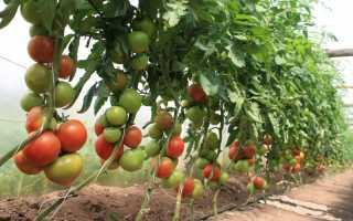 Пасынкование помидоров в теплице: способы формирования индетерминантных, детерминантных и штамбовых томатов