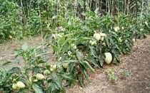Что такое пепино или дынная груша: выращивание из семян, уход, фото