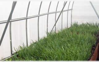 Причины полегания лука в теплице и профилактические меры