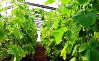 Выращивание огурцов в теплице из поликарбоната для начинающих: технология и лучшие сорта + посадка и уход