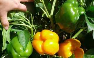 Кладовая витамина C: как увеличить урожай болгарского перца