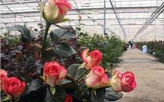 Розы в теплице: выращивание своими руками на продажу и для удовольствия