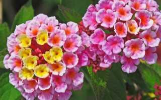 Как вырастить деревце из сказки: роскошная палитра цветов лантаны