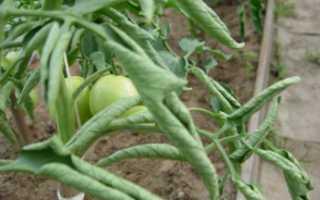 Почему листья томатов скручиваются или изменяют окраску