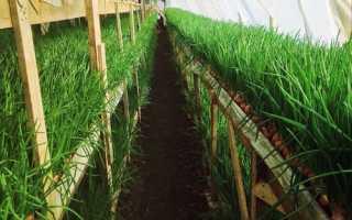 Выращивание лука на зелень в теплице: сорта и гибриды, уход