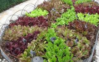 Выращивание пряной зелени на приусадебном участке