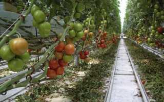 Как вырастить хороший урожай в «Кремлёвской» теплице