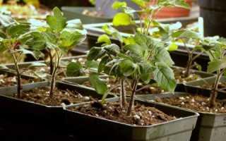 Когда сеять рассаду помидор