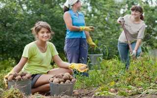 Заморский овощ: выбираем лучший сорт картофеля