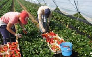 Выращивание клубники в теплице круглый год: как вырастить ароматную ягоду зимой