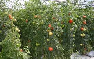 Cорта томатов для теплиц:красные, желтые, черные, описания с фото