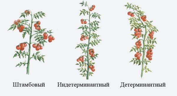 Кусты помидоров по типу роста