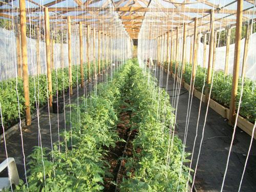 Вертикальные шпалеры для томатов