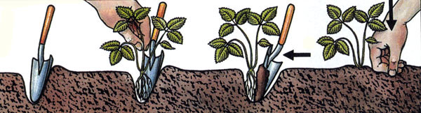 Правила посадки клубники