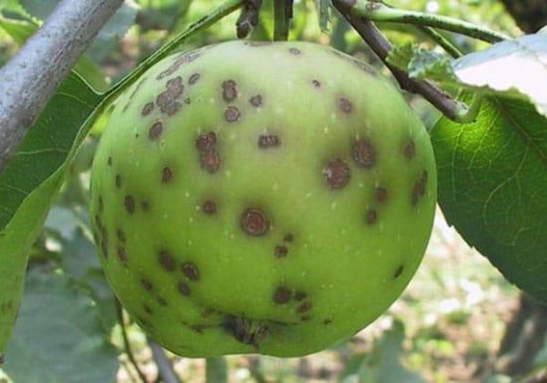 Заболевание яблони парша