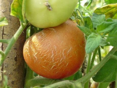 нужно поливать томаты по правилам