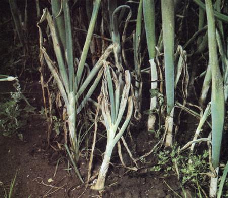 болезни зеленого лука