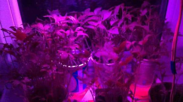 Растения под фотолампой