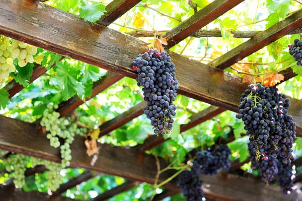 Виноград на перголе