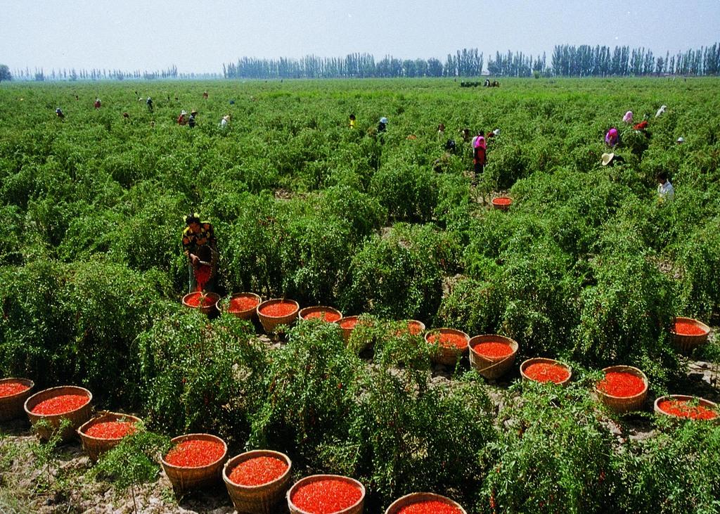 В Китае ягоды годжи выращивают в промышленных масштабах