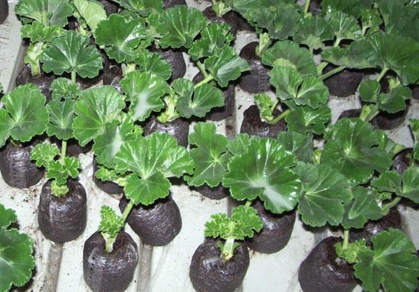 Рассада растений в торфяных таблетках
