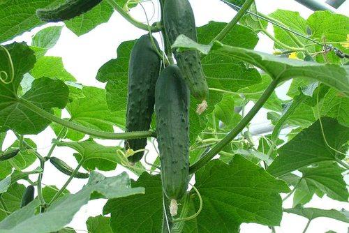Плоды на весенне-летних огурцах