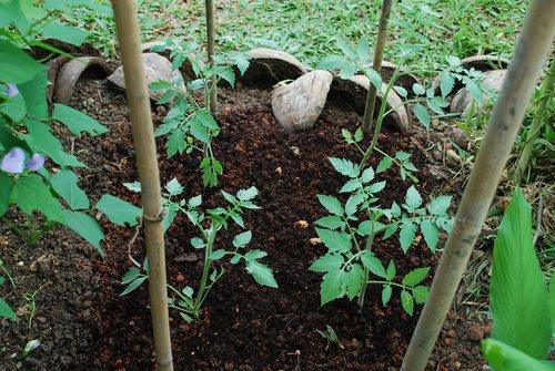 Вносить удобрения можно вдоль бороздок между растениями
