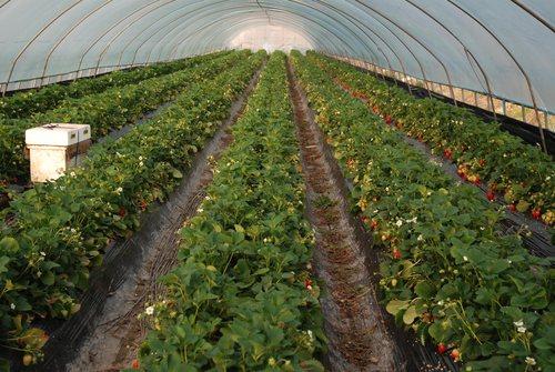 Выращивание земляники под черной пленкой в теплице