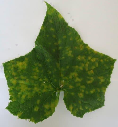Лист, пораженный ложной мучнистой росой