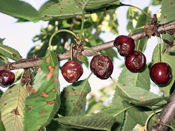 Заболевание вишни монилиоз